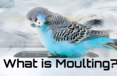What Is Moulting? Budgie Moult