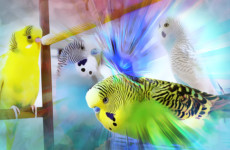 Singing Budgie flock for Lonely Budgies