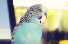 Budgie Sounds | What does IT mean?