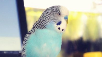 Photo of Budgie Sounds | What does IT mean?