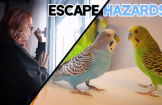 Prevent losing your Bird! Budgie Escape Hazards