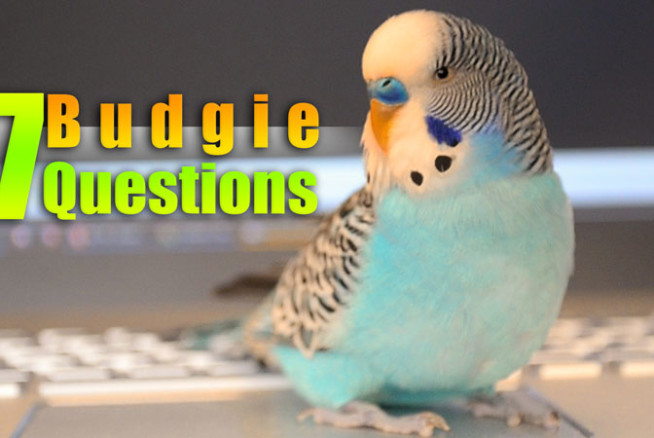 Saving Female Budgie from the Market – Alen AxP Budgie Community