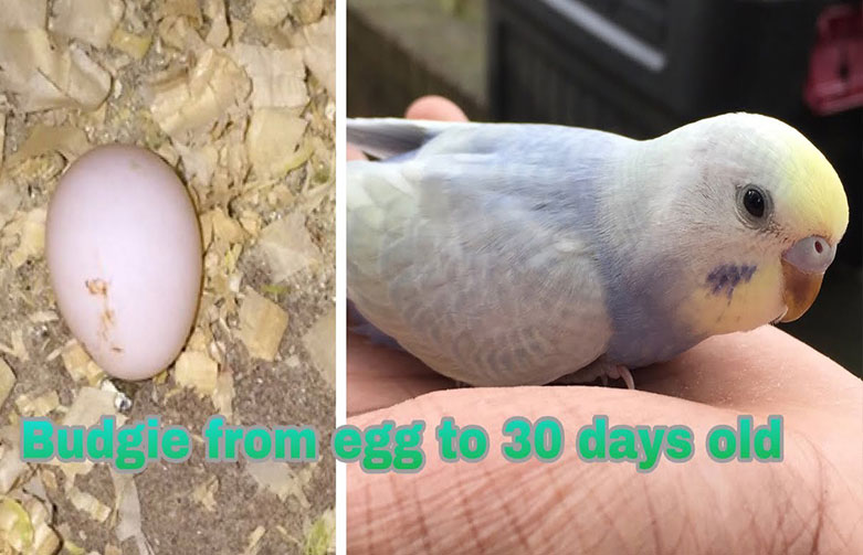 Video: Budgie Timelapse from Egg to 30 Days