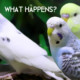 What happens to Budgies that don't get sold?