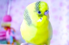 Happy singing Sunny Bird for singing Budgies