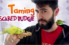 How to Bond and Tame a Scared Budgie