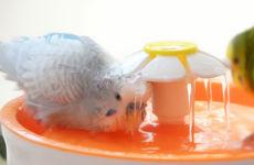 Best Ways to Bath your Bird – Budgie / Parakeet 2019.