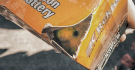 Saving Female Budgie from the Market