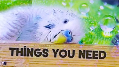 Photo of Things you need for a Budgie