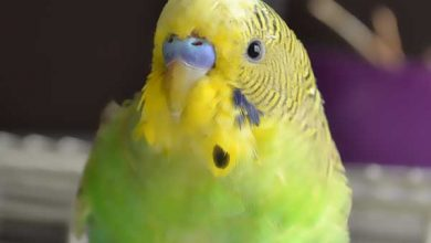 Photo of 9 Ways to protect our Budgie bird from illnesses [Alen AxP]