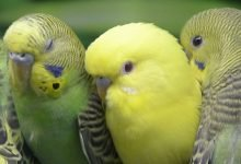 Photo of Budgies for Sale [Alen AxP]