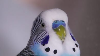 Photo of Why You Should Keep Budgies for Pets and not Cats or Dogs? [Alen AxP]