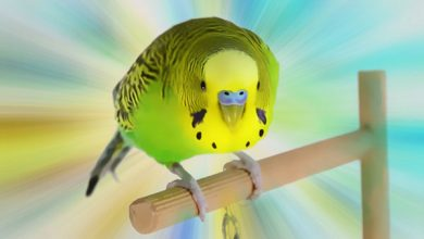 Photo of Are you sure that you need a pet Budgie?