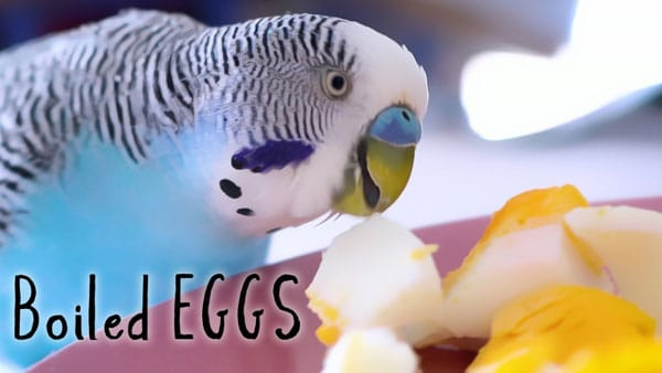 budgie guide egg