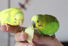 Photo of Budgie Feeding – Every Budgie Owner needs to know! [Alen AxP]