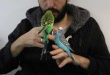 Photo of Budgie taming and bonding with a pet