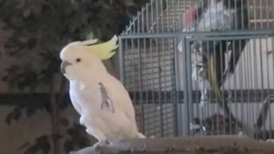 Photo of Saving a Cockatoo from abuse