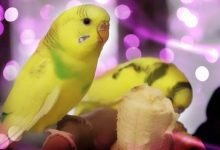 budgie care - You Should Know Before You Choose A Pet Budgie Parakeet Alen AxP 220x150 - You Should Know Before You Choose A Pet Budgie Parakeet [Alen AxP]
