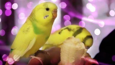 Photo of You Should Know Before You Choose A Pet Budgie Parakeet