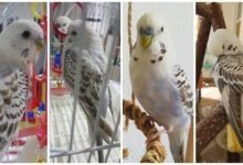 Photo of Denny the Budgie | Denny's Story