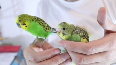 Photo of Safety Tips For Handling Budgerigars