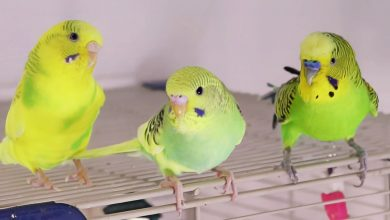 Photo of Budgerigar – All to know an encyclopedia