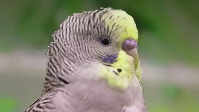 Photo of Extend Your Budgie's Pet life – Tips to Longer life for pet birds
