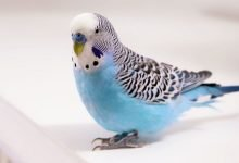 Photo of Youtube Famous Budgerigars