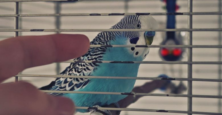 Budgie in a Cage Is it Cruel