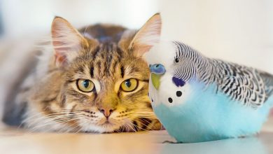 Can Cat and Budgie Live Together