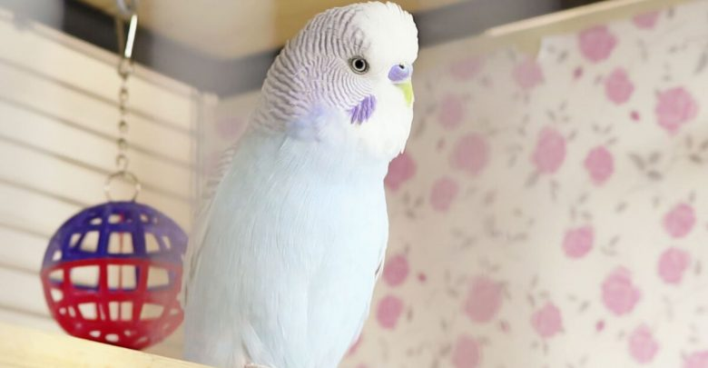 How to Introduce a Second Budgerigar