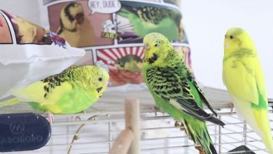 Photo of How to Make a Budgerigar Live Longer