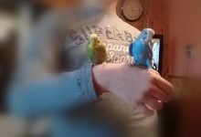 Photo of I adopted my budgie Coco