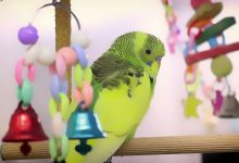 What do Budgerigars need in their Cage