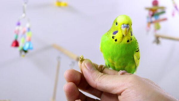 Extend Budgie's life