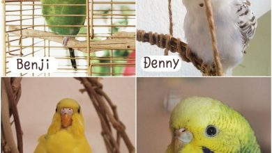 Photo of Budgie flock – Story of Denny the Budgie
