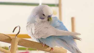 Photo of Budgie Beginner – 20 Questions Answered