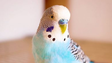 Can Budgie siblings mate Breeding