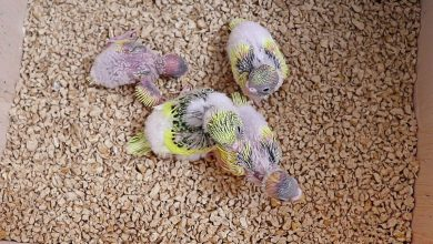 Photo of Cleaning bird nest? Budgie Guide