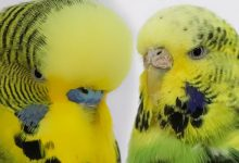 English Budgerigar - Everything to know