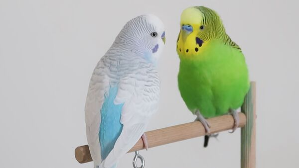 budgie guide