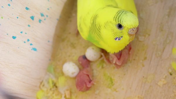 Cleaning bird nest? Budgie Guide
