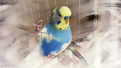 Budgie Color and Color Mutation