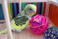 Photo of Budgie Playground and why is it Important?