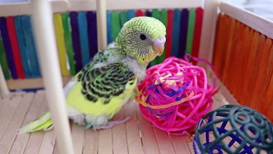 Budgie Playground and why is it Important