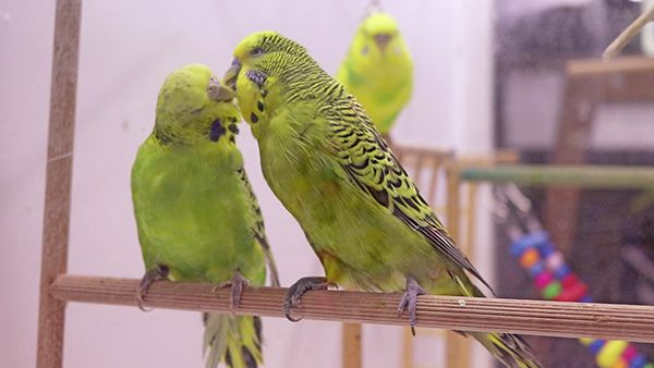 Breeding English Budgies