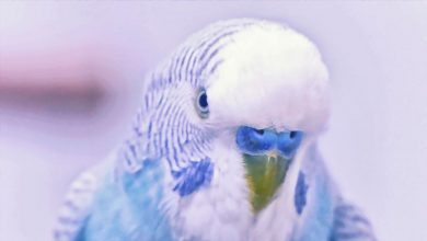 Photo of Do Humans eat Budgies: Myth or reality?