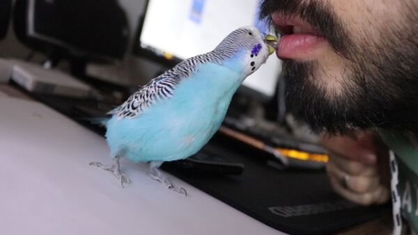 Humans eat Budgies