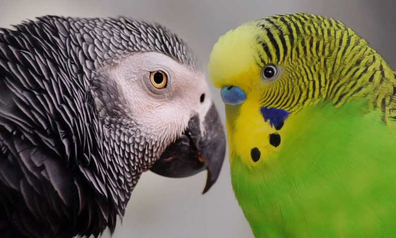 African Grey Parrot and Budgie keeping together