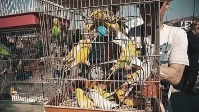 Budgie Trafficking - Sad truth behind